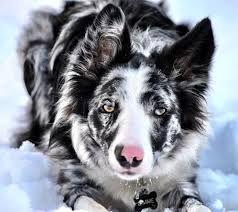 Image Result For Border Collie Border Collie Dog Dogs Herding Dogs