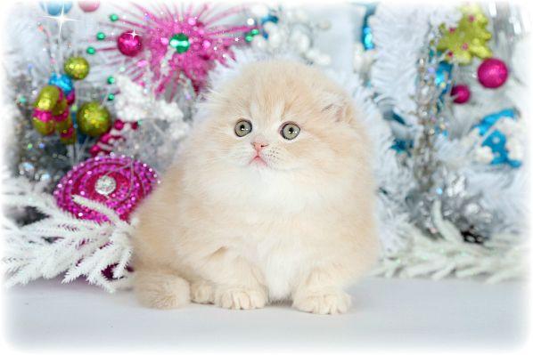 Solid Cream Floppy Eared Rug Hugger Teacup Persian Kitten For Sale Persian Kittens Persian Kittens For Sale Teacup Kitten