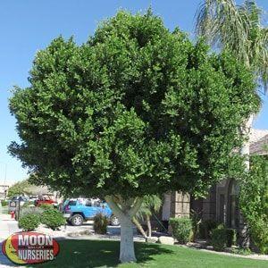 Ficus Indian Laurel Backyard Ficus Fast Growing Trees