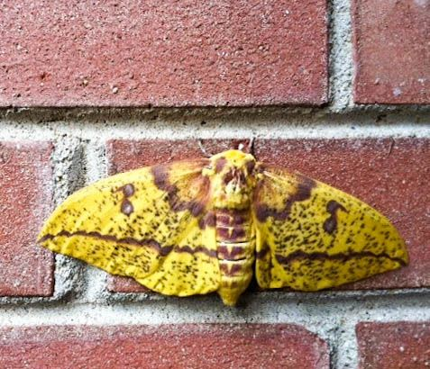 Imperial Moth (Eacles imperialis)  by Rebecca Silbermann: Resting on the side of the garage! http://pinterest.com/pin/2814818487740807/  #Imperial_Moth #Rebecca_Silbermann