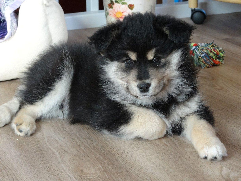 Lapinkoiran Pentu Finnish Lapphund Puppies Puppies Dogs Finnish Lapphund