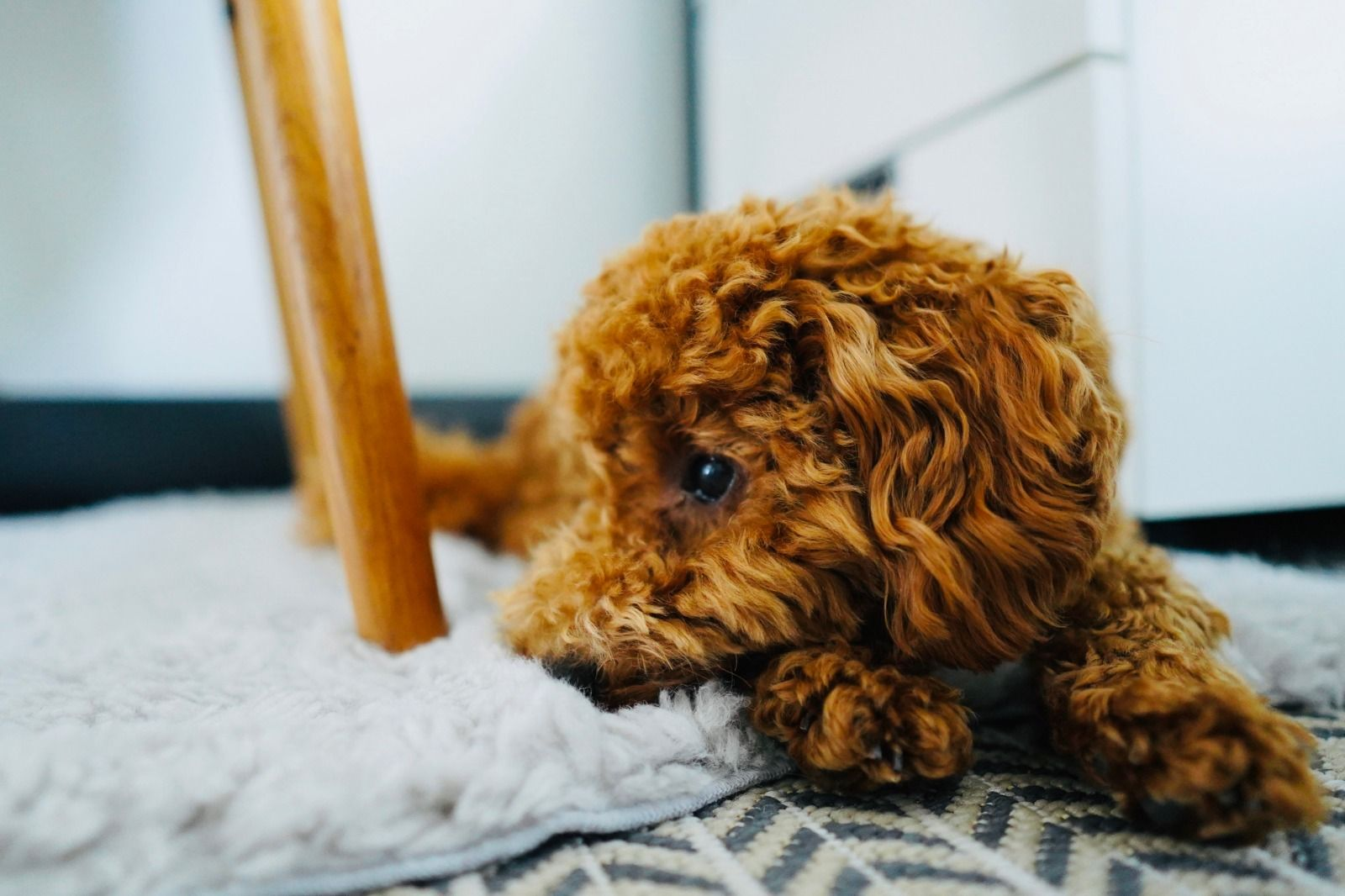 Cute Toy Poodle Puppy Pudel Welpen Zwergpudel Pudel