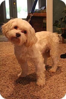 Bedminster Nj Lhasa Apso Mix Meet Lincoln A Puppy For Adoption Http Www Adoptapet Com Pet 12006865 Bedminster New Jer Puppy Adoption Lhasa Apso Puppies