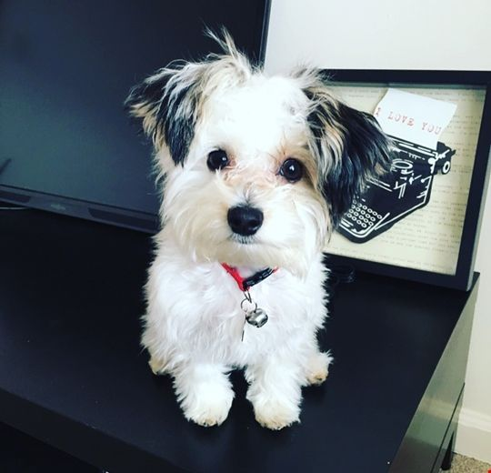 Sammie Morkie puppies, Tiny puppies, Mini goldendoodle