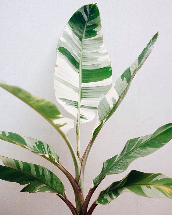 Royal variegated banana (Ranggakuzuma)