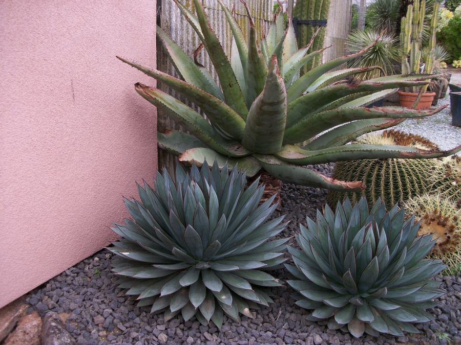 Designing with low maintenance Agave Succulents | Monji Enterprises