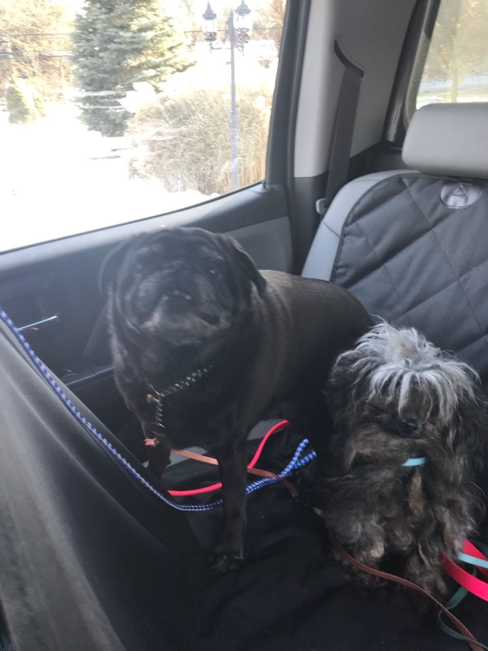 Adopt Atticus & Boo on Poodle mix dogs, White plains