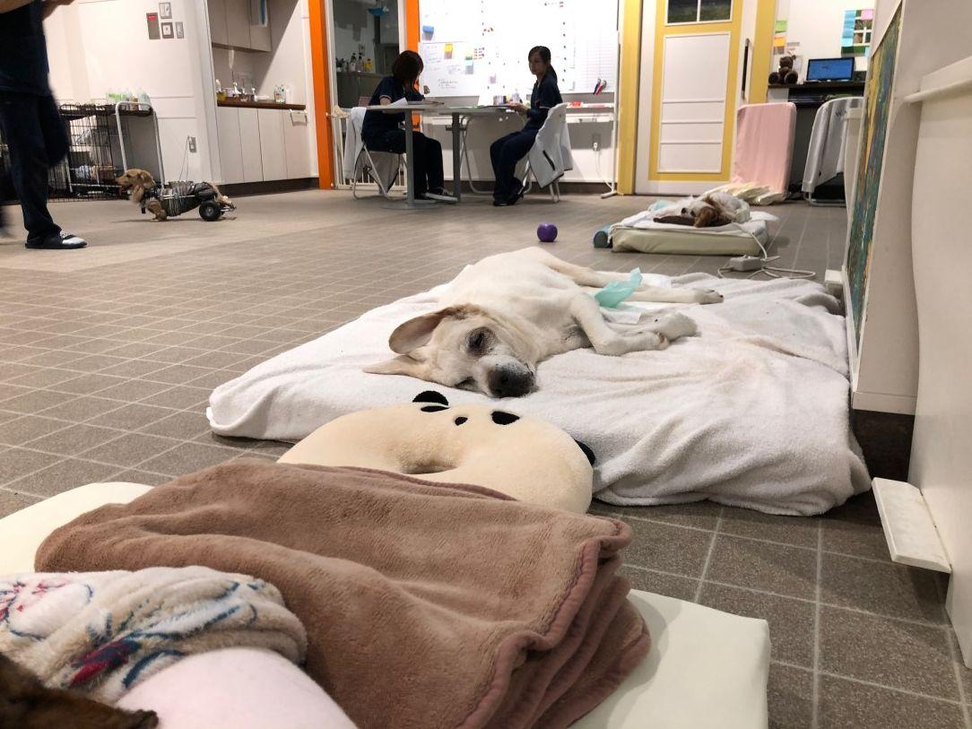 横浜にあるワンちゃんの大型複合施設wancott ワンコット の介護 老犬ケアルームの様子です 週末ということもあり 面会などで前回よりも賑やかでした 24時間ずっとベッドの上で過ごしている長期お預かりの老犬たちに良質なベッドを使ってもらいたいというwancott