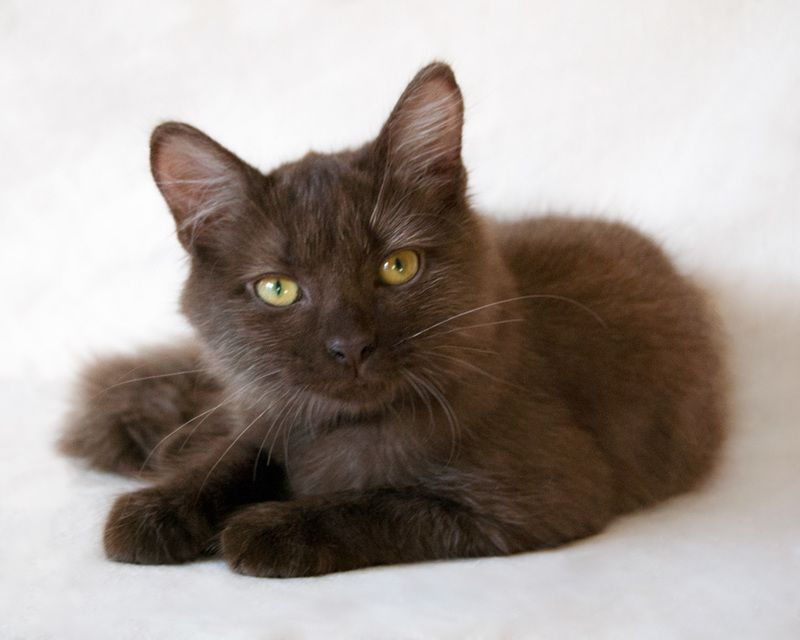 Adopt Gigi On Beautiful Cats Cat Adoption Long Haired Cats