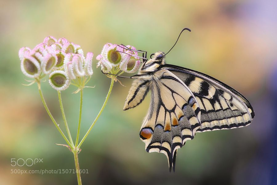 papilio machaon by villafrancamichele #nature #photooftheday #amazing #picoftheday