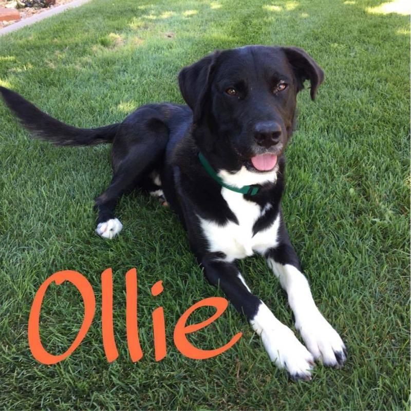Adopt Ollie on Pet search, Adoption, Pup