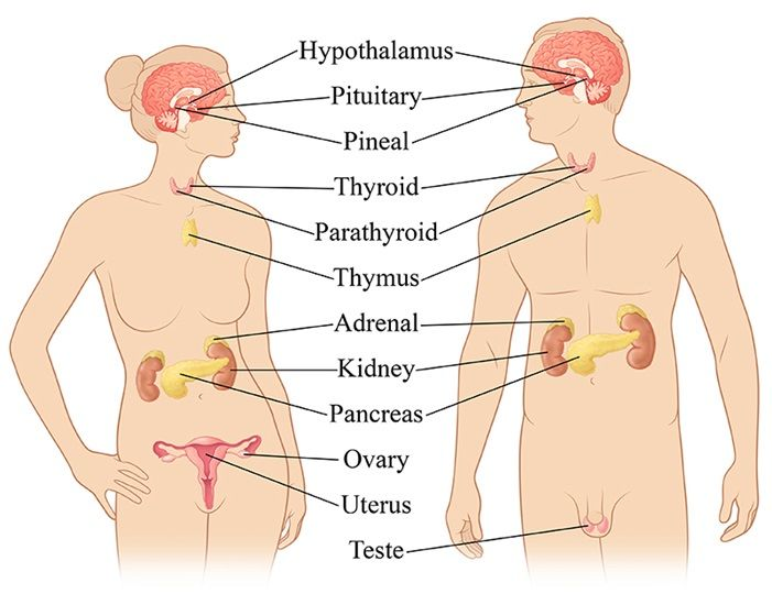 Endocrine System Information Hormone Health Network Yoga
