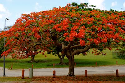 the flame tree located in guam