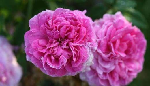 Rosa Belle Virginie vivaio La Campanella | Rosen | Rose