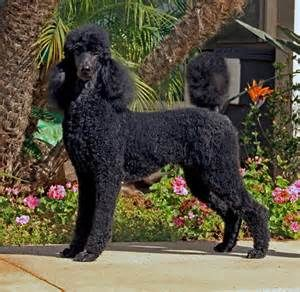Standard Poodle Sporting Clip Bing Images Poodle Puppy