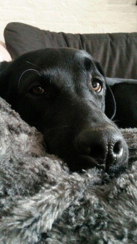 Omg Those Eyes Lab Dogs Labrador Retriever Black Lab Puppies