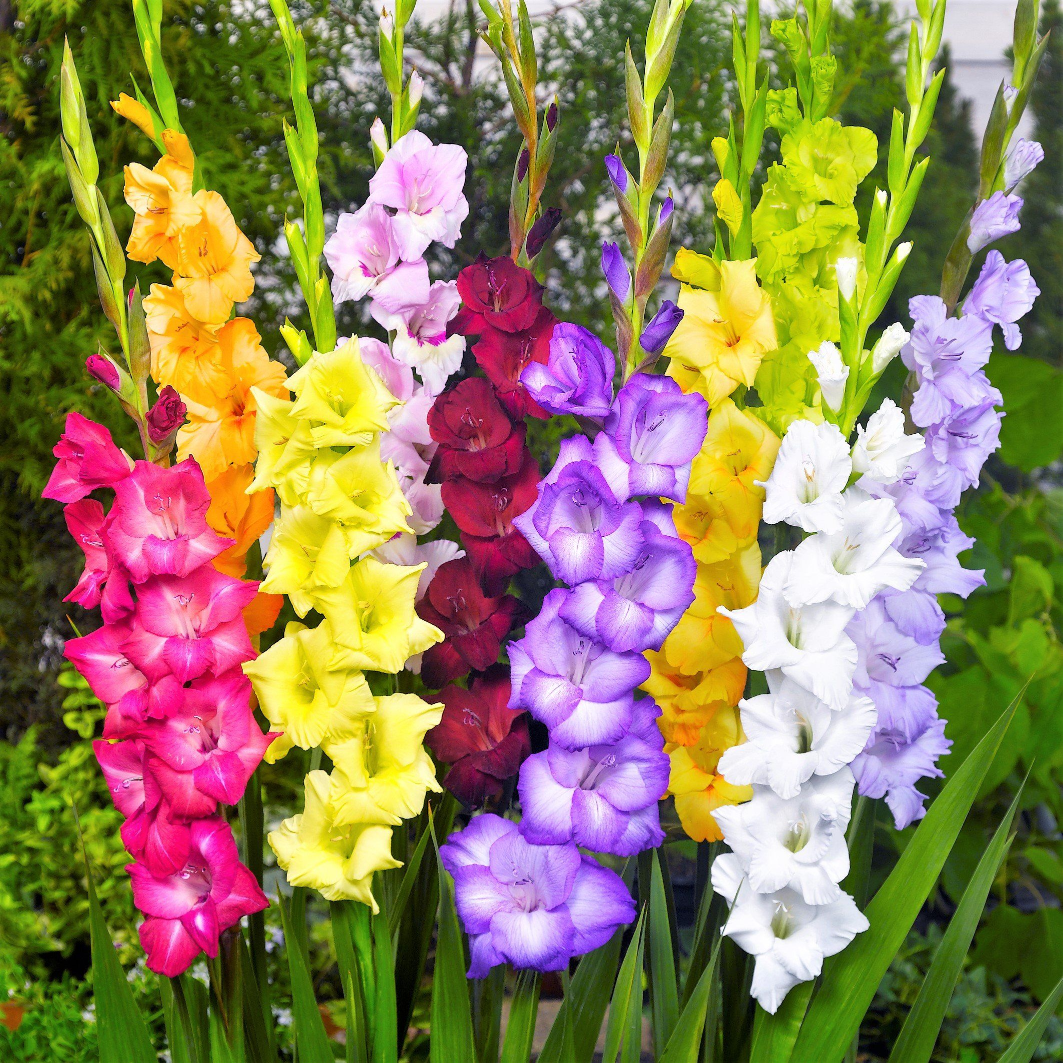 Gladiolus Artistic Arrangers Mix Gladiolus Flower Bulb Flowers Gladiolus