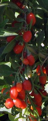 Goji Berry Phoenix Tears 4 Inch Pot Fall Berry Plants Growing Goji Berries Edible Wild Plants