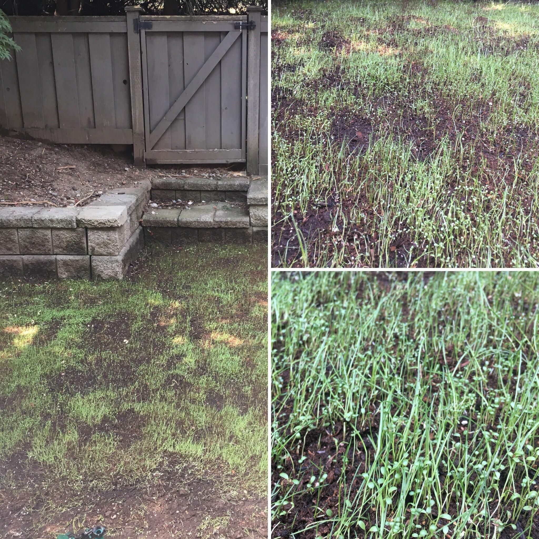 New Patchy Lawn Last Year I Tried Just Grass And It Never Filled In This Year I Mixed It With Micro Clover But Its Growing In Patches Aga Peat Moss Lawn Grass