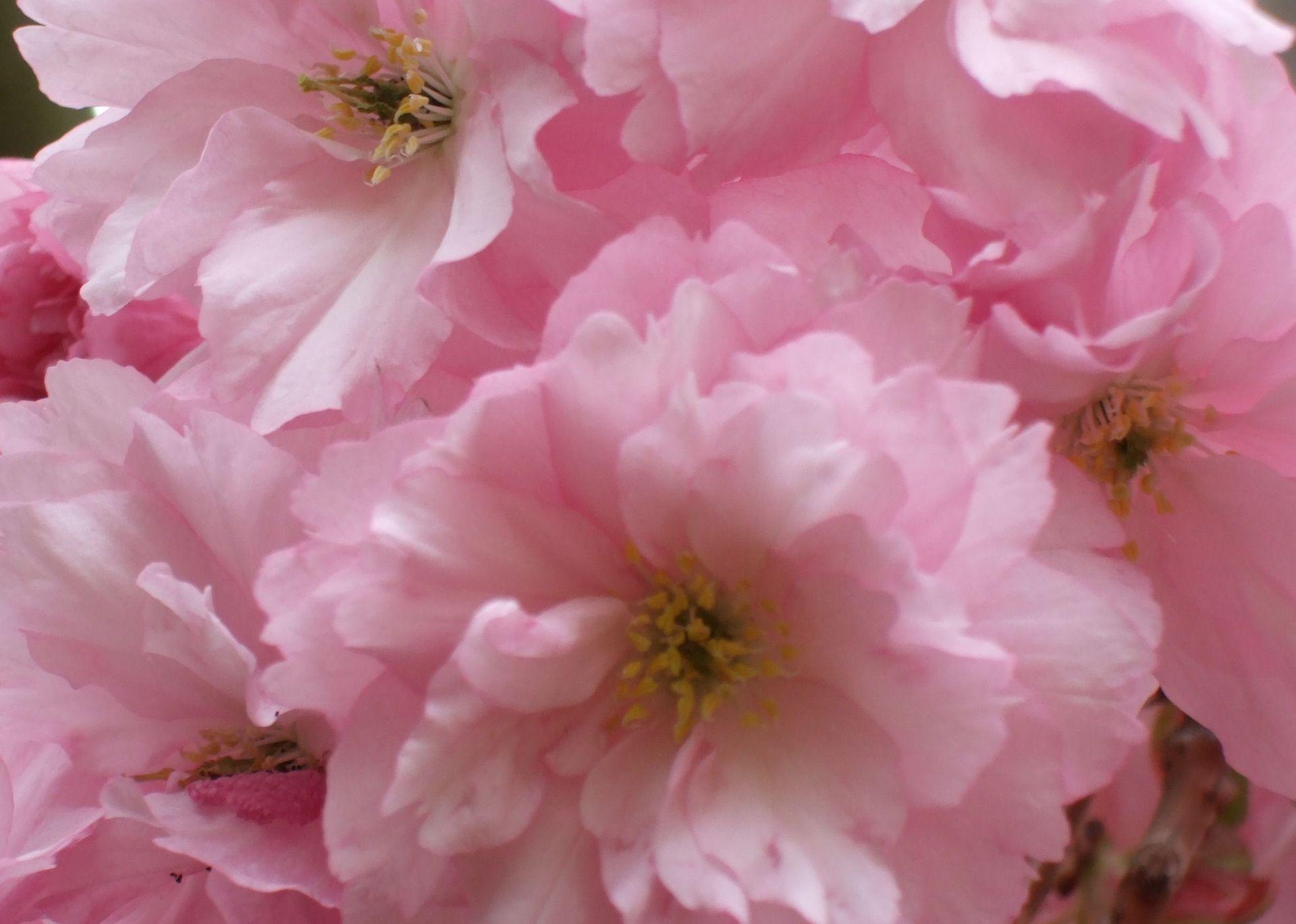 Spring flowers background pink spring flower 1920 x 1370 spring flowers background pink spring flower 1920 x 1370 download close mightylinksfo Gallery