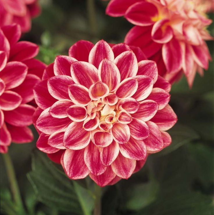 Dahlia pinnata is the national flower of Mexico Flowers