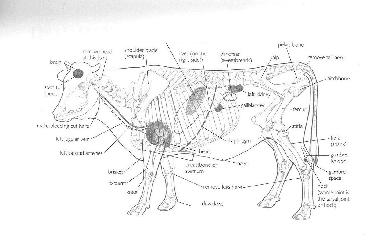 hight resolution of cow diagram anatomy
