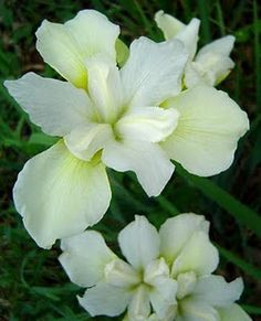 Siberian iris  chartreuse bounty also tall pinterest rh