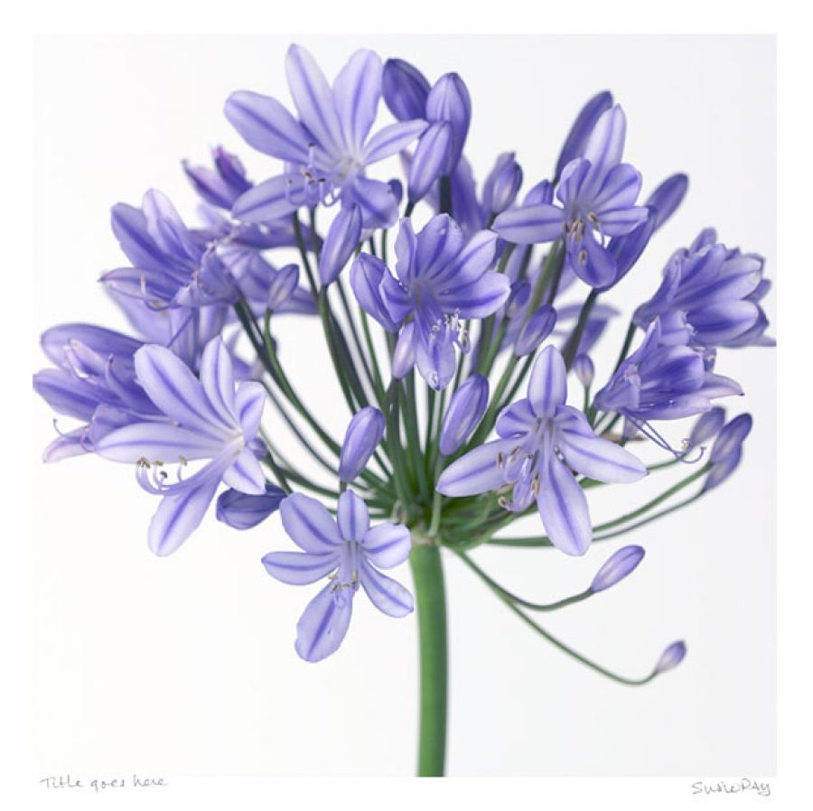 Blue agapanthas images to paint pinterest paintings some species of are commonly known as or in the uk although they are not lilies and all of the species are native to south africa from the cape of good dhlflorist Images