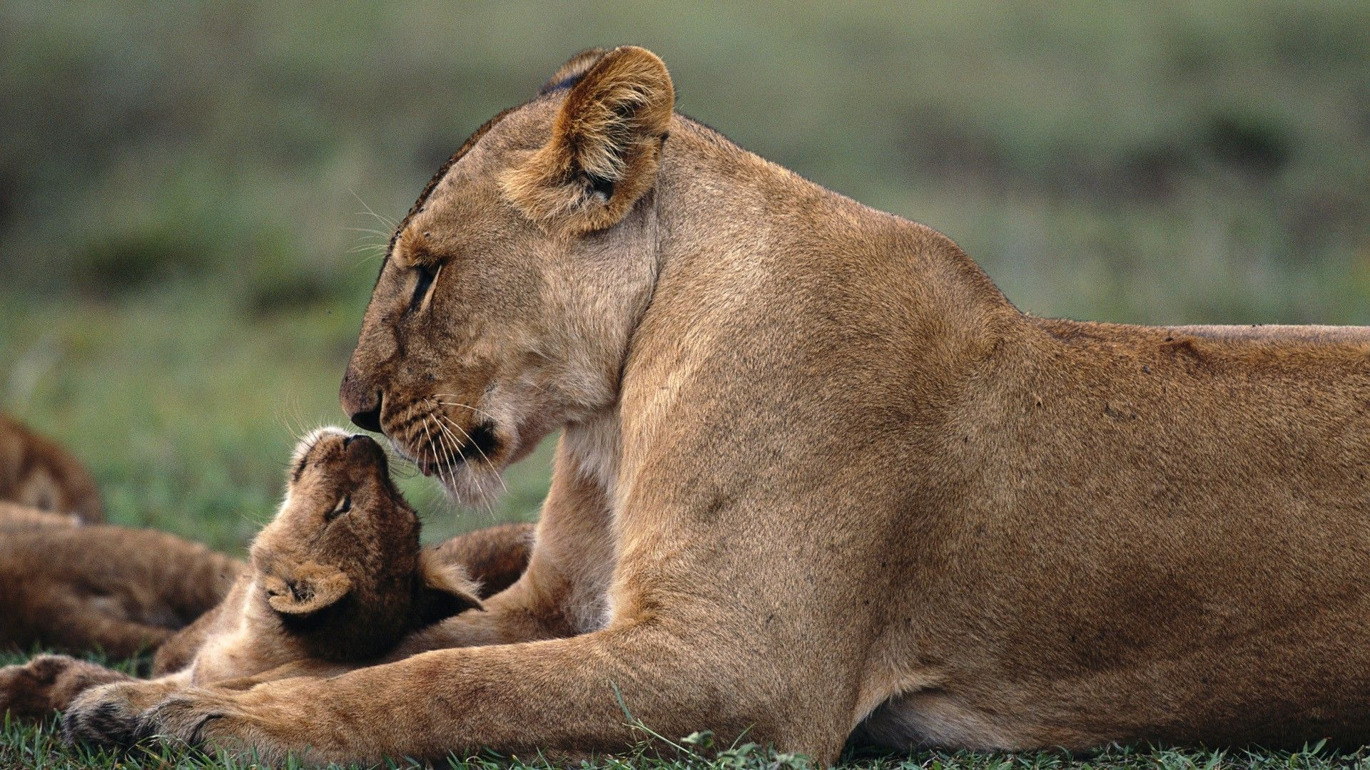 download hd wallpapers of 35975-lion, animals, baby animals. free