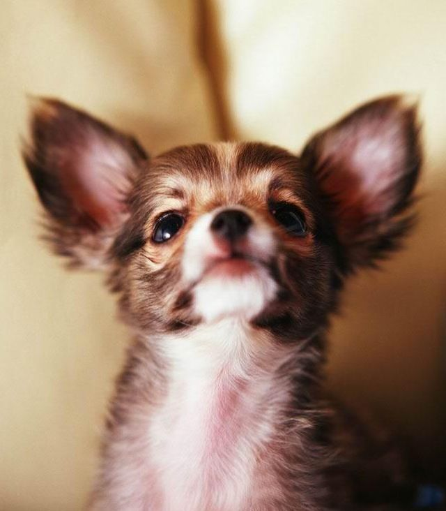 Adoring Gaze Of A Sweet Chi Nothing Like It Chihuahua Breeds