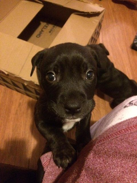 Frank 7 Week Old Male Staffordshire Bull Terrier Cross Available