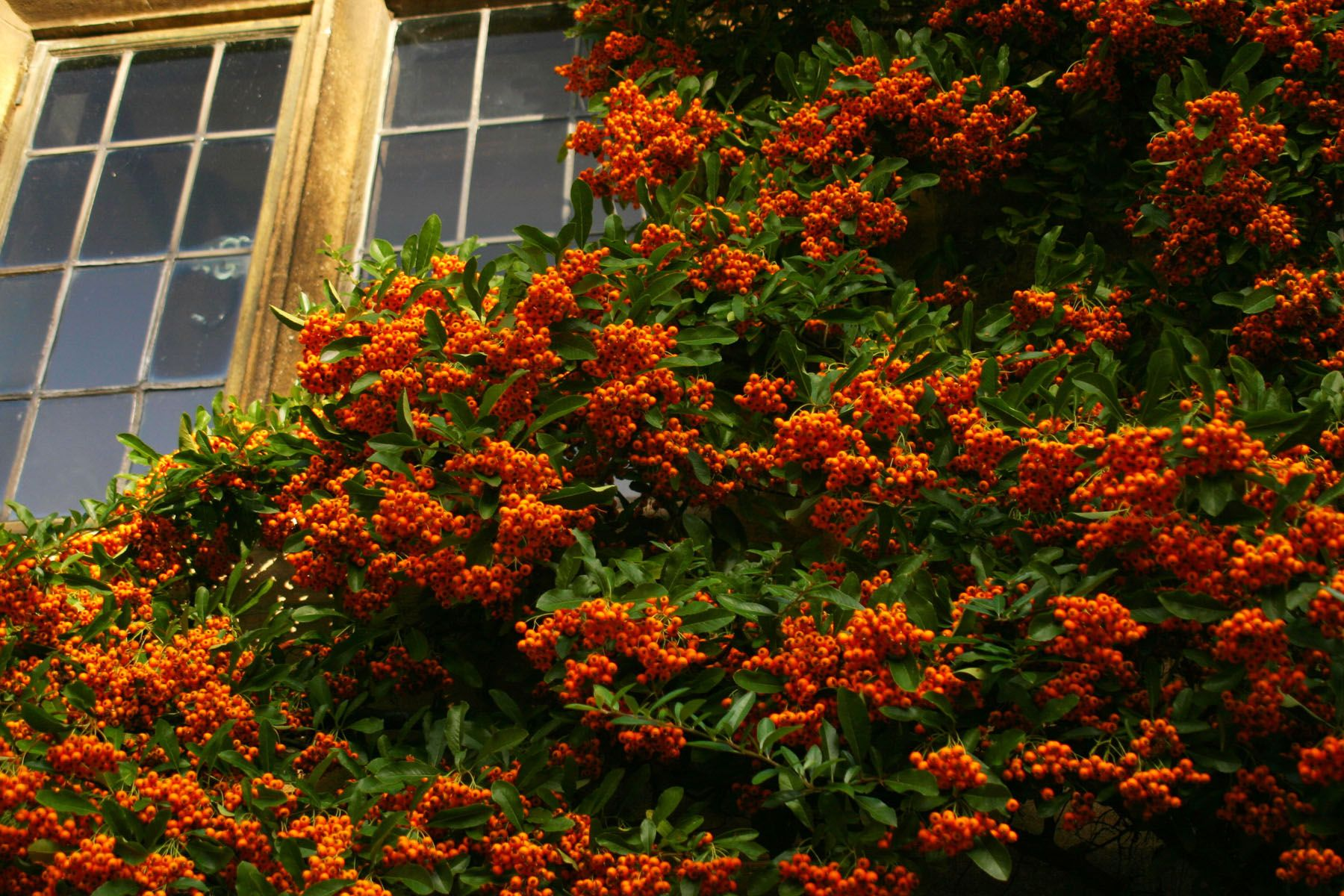 evergreen photo essay ideas - Scarlet Firethorn Pyracantha native to Spain and Iran