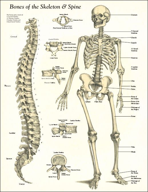 spine diagrams vintage | bones of the skeleton and spine poster, Skeleton
