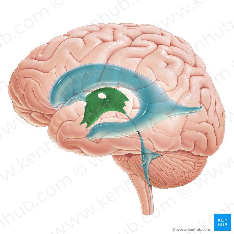 Third ventricle (Ventriculus tertius); Image: Paul Kim | brains ...