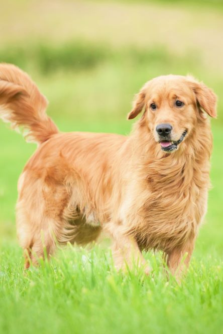 Golden Retriever Running On The Lawn Goldenretriever Golden Retriever Retriever Dogs