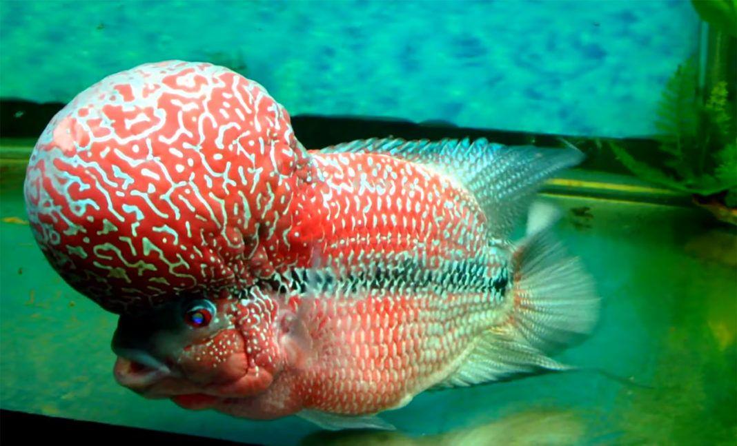 Top Attractive Types Of Flowerhorn Cichlids Cichlids Sunken Eyes Attractive