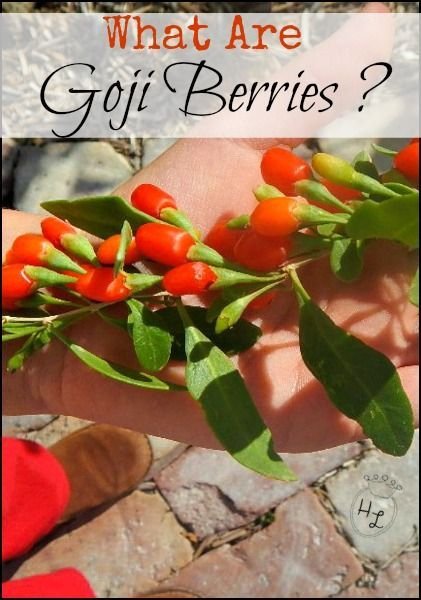 What are Goji Berries l The healthy Goji berry is easy to grow and use l Homestead Lady (.com)