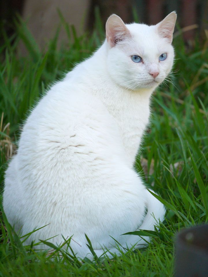From A Customer Our Beautiful White Cat He Has Ice Blue Eyes