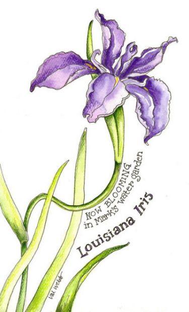 Louisiana Iris By Val Webb Iris Drawing Botanical Art Louisiana Iris