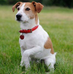 Jack Russell Terrier Mix   Jack russell terrier, Jack ...
