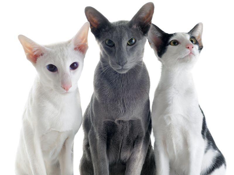 Orientalisch Kurzhaar Klug Und Gesellig Orientalisch Kurzhaar Katzenzuchter Orientalische Katze