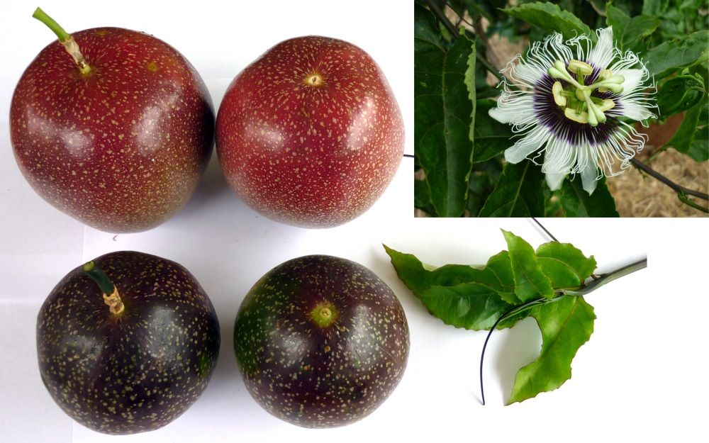 Panama red passionfruit passiflora edulis passiflora