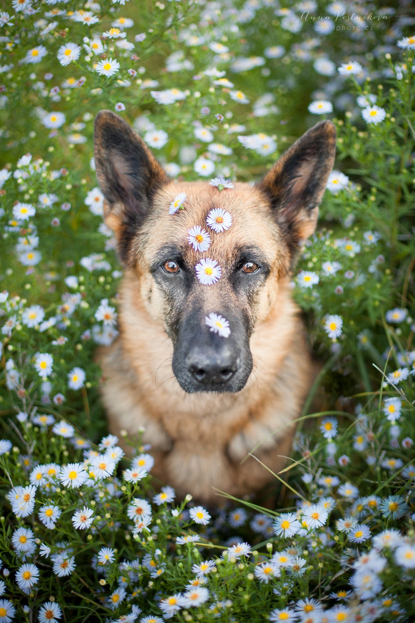 Flowers German Shepherd Dog Svana Flowers Http Facebook Com