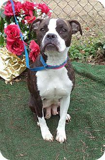 Marietta Ga Boston Terrier Mix Meet Mila A Dog For Adoption Looks Like Boston Boxer To Me Love Dog Adoption Pet Adoption Adoption