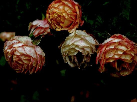 old roses in a rainy day ~ jelens