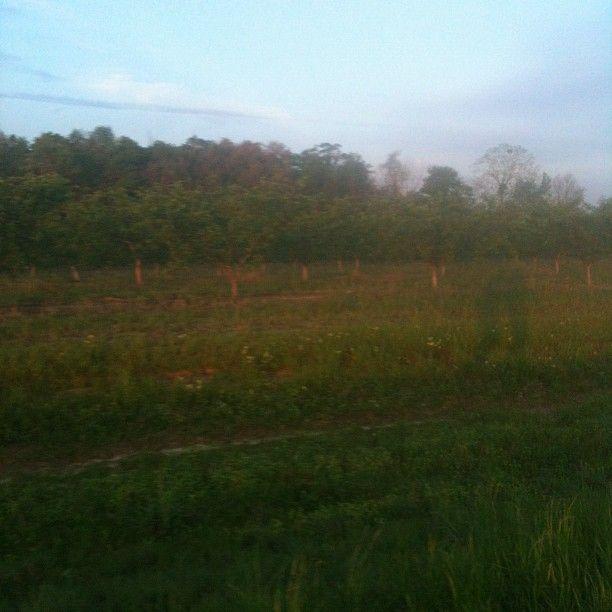 Peach Trees day 18