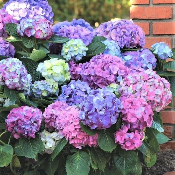 foto de Hortensia bicolore Plante Hortensias Idées de jardin fleur