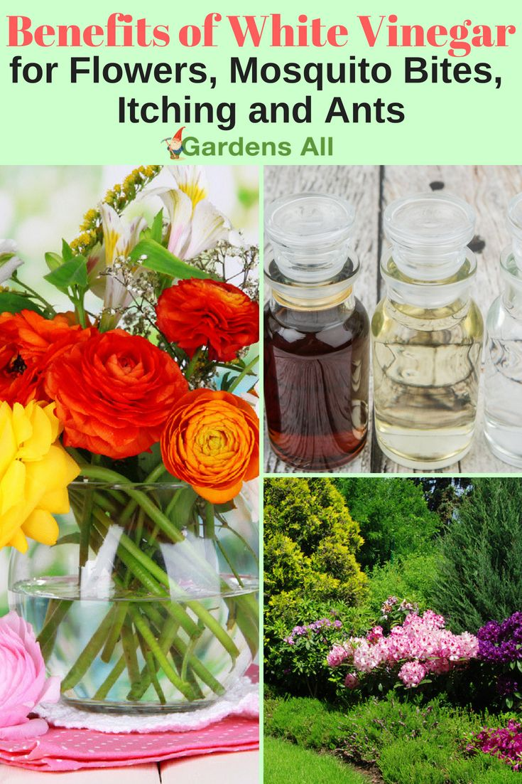 Benefits of white vinegar for flowers ants mosquito