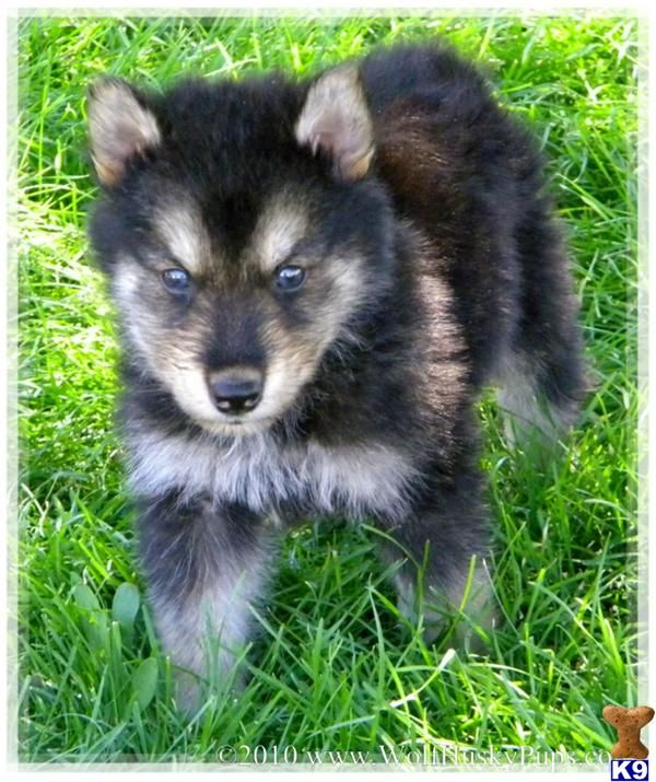 Wolf Dogs For Sale In Colorado Wolf Dogs For Sale Dogs For Sale Wolf Dog