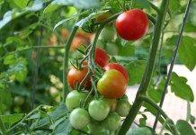 Conseils de Jardinage : Réussir la culture des tomates